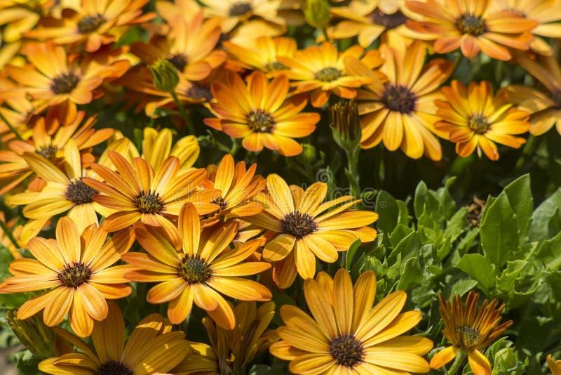 Osteospermum - orange afrikansk tusensköna royaltyfria bilder