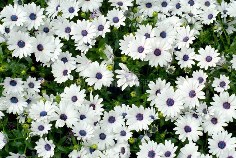 osteospermum piękny biel zdjęcie royalty free