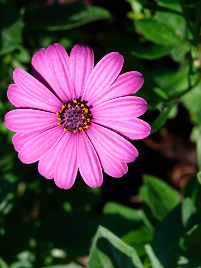 Osteospermum purpurartig-rosa lizenzfreie stockbilder