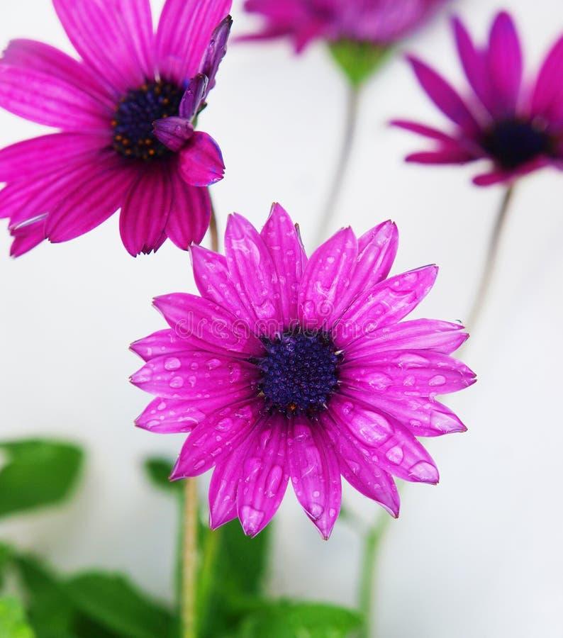 osteospermum purpury zdjęcia stock