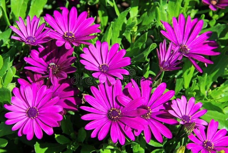 Osteospermum violeta foto de archivo libre de regalías