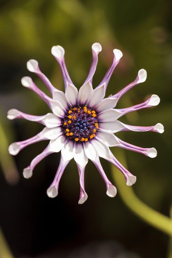 Osteospermum Whirligig stokrotka obrazy royalty free