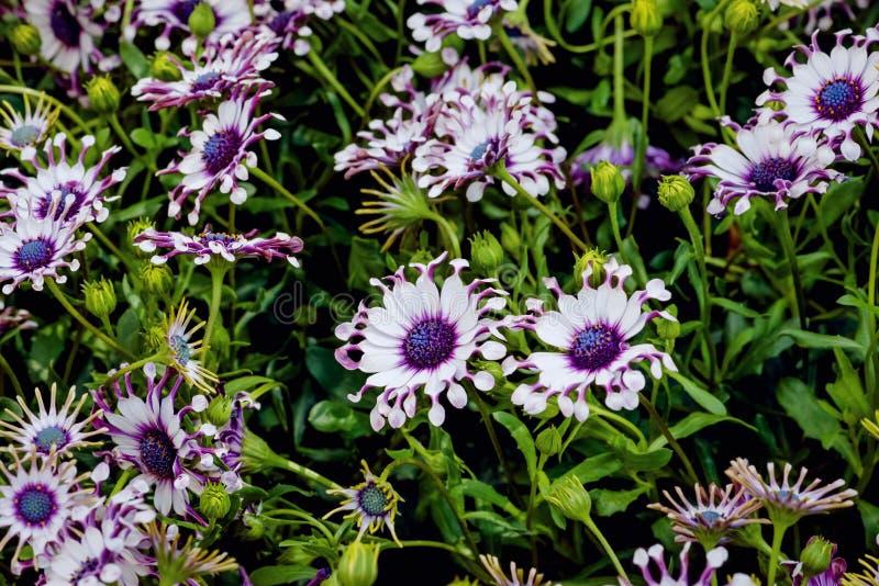 Osteospermum Whirlygig Afrykańska stokrotka kształtował kwiatu purpurowego biel fotografia stock