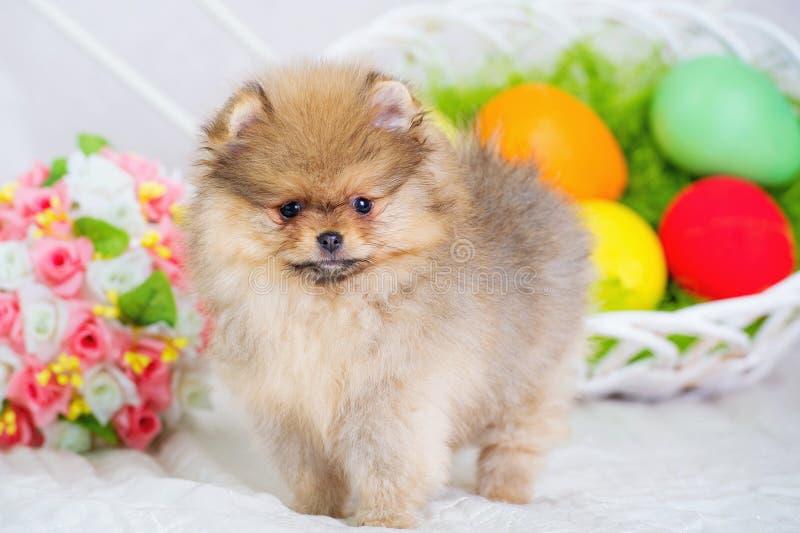 Ostereier und flaumiger Spitzhundewelpe lizenzfreie stockfotografie