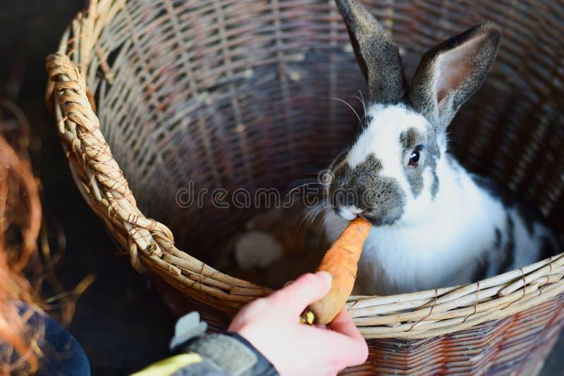 Osterhase, Kaninchen, das eine Karotte isst lizenzfreie stockfotos