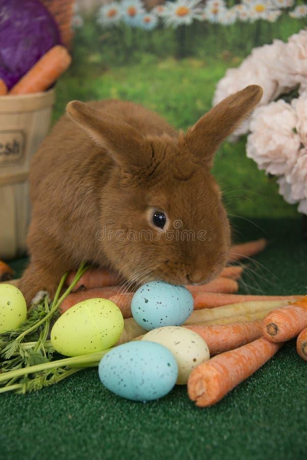 Osterhase rotes Thrianta-Kaninchen, das frische Karotten des Bauernhofes und farbige Ostereier isst lizenzfreies stockbild