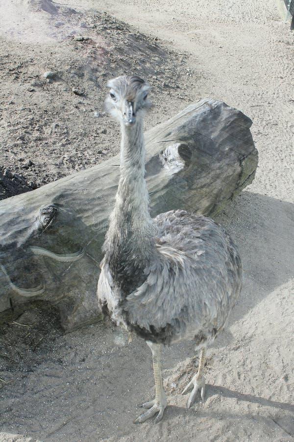 Osterich nello zoo di Copenhaghen immagine stock libera da diritti