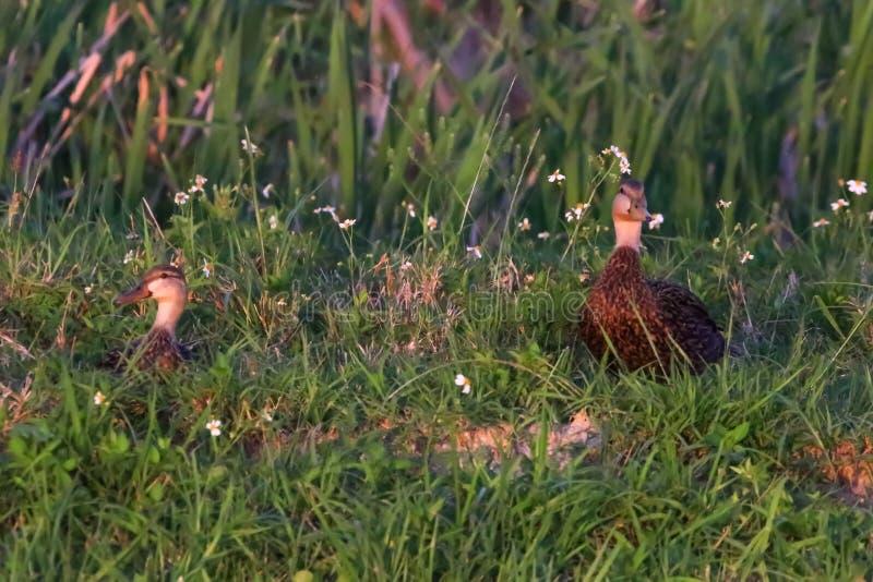 Ostern-Enten-Fotos stockbilder