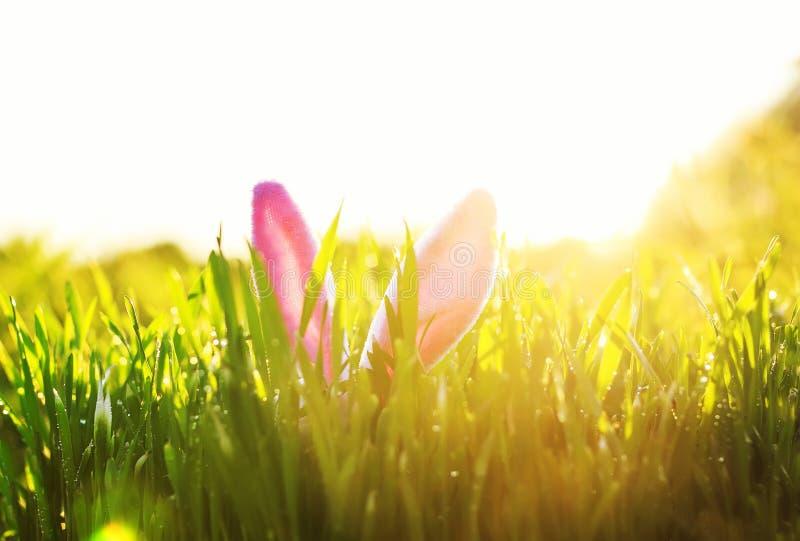 Ostern-Szene mit einem Paar rosa Häschenohren, die aus dem üppigen grünen Gras heraus durchnäßt im sonnigen haften lizenzfreie stockfotos