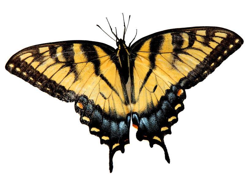Ostern-Tiger Swallowtail Basisrecheneinheit stockfotografie