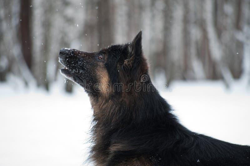 Osteuropäischer Schäfer, der im Schnee spielt lizenzfreie stockfotos