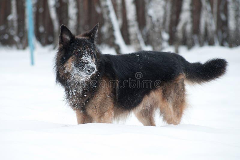 Osteuropäischer Schäfer, der im Schnee spielt stockfoto