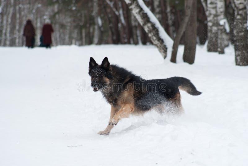 Osteuropäischer Schäfer, der im Schnee spielt stockbilder