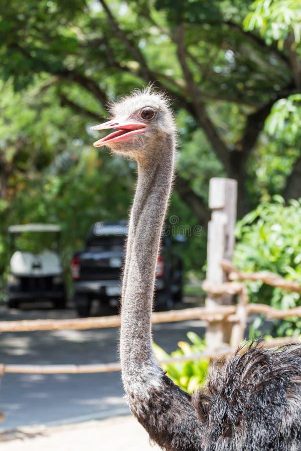 Ostich在动物园里 免版税库存照片