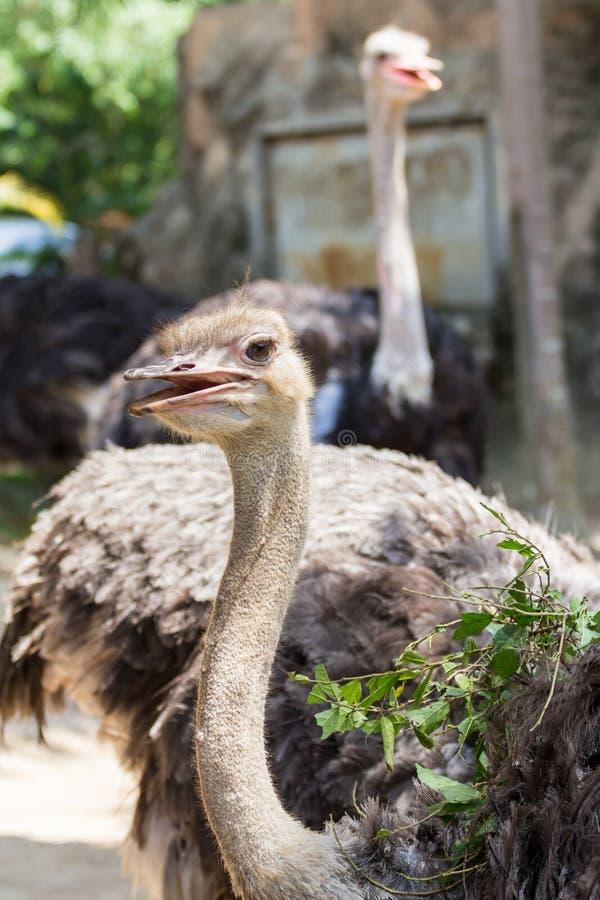 Ostich在动物园里 库存图片