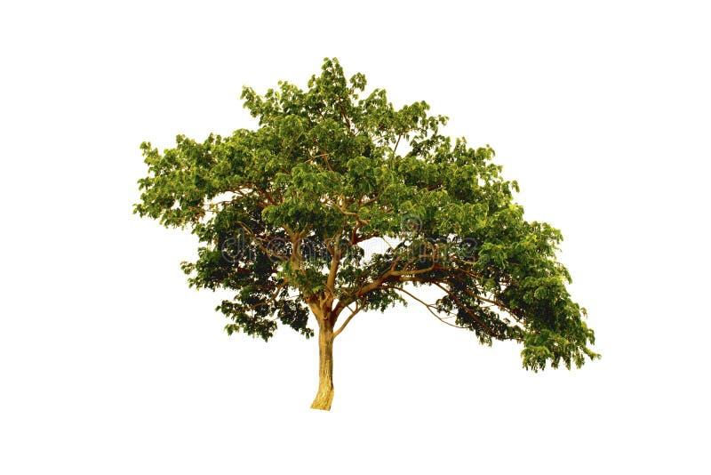 Ostindischer Walnussbaum oder silk Baum oder Regenbaum lokalisiert auf weißem Hintergrund stockbilder
