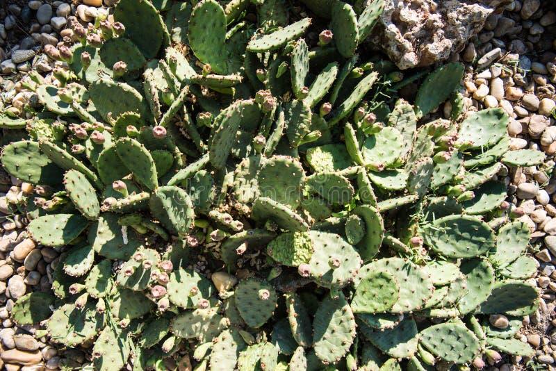 Ostkaktusfeigekaktus, Opuntie compressa stockbilder