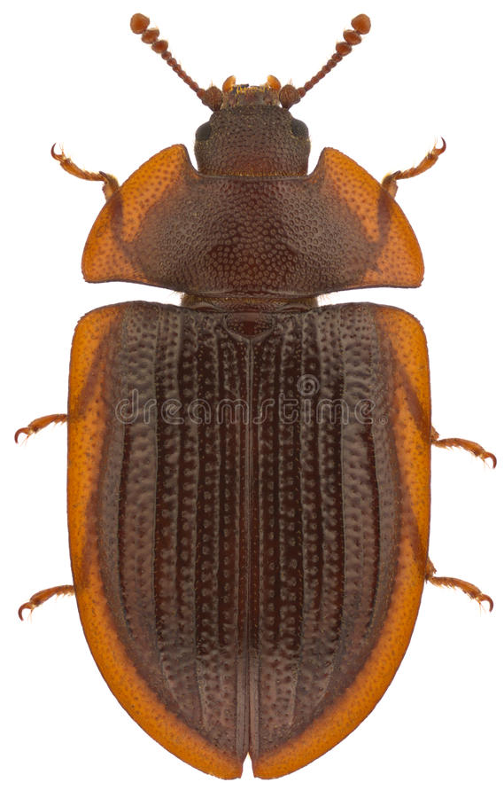 Download Ostoma ferruginea stock photo. Image of above, beetles - 22228488