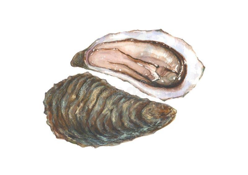 Ostra de la acuarela, aislada en el fondo blanco stock de ilustración