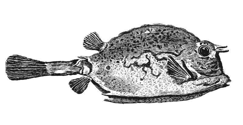 Ostraciidae illustrazione vettoriale