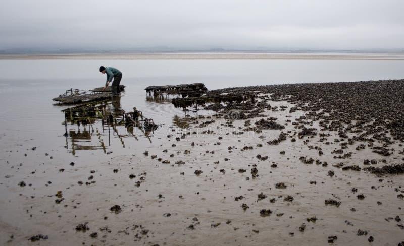Ostrica che coltiva in Northumbria, Regno Unito. immagine stock