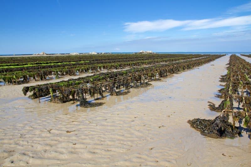 Ostrica che coltiva sulla Jersey, Regno Unito fotografia stock