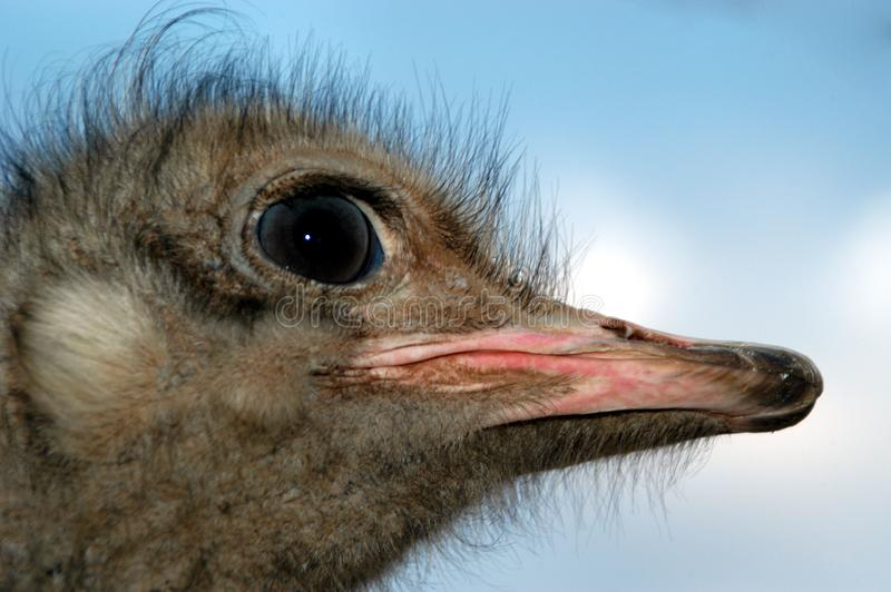 Ostrich 03 Free Stock Photography
