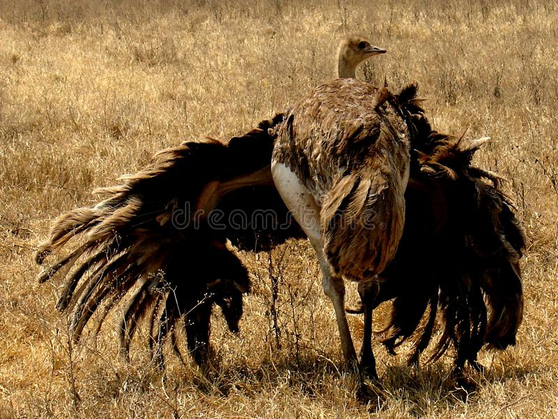 Download Ostrich stock image. Image of wings, bird, ostrich, south - 11122049