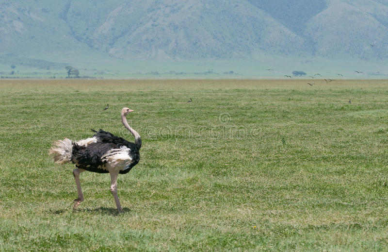 Ostrich. Running in Ngorongoro crater Tanzania africa stock photography