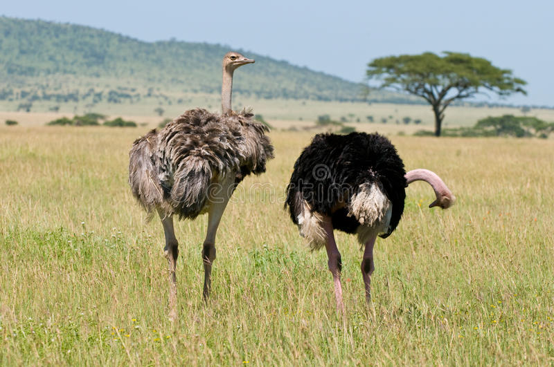 Ostrich. A pair of ostrich in africa royalty free stock images