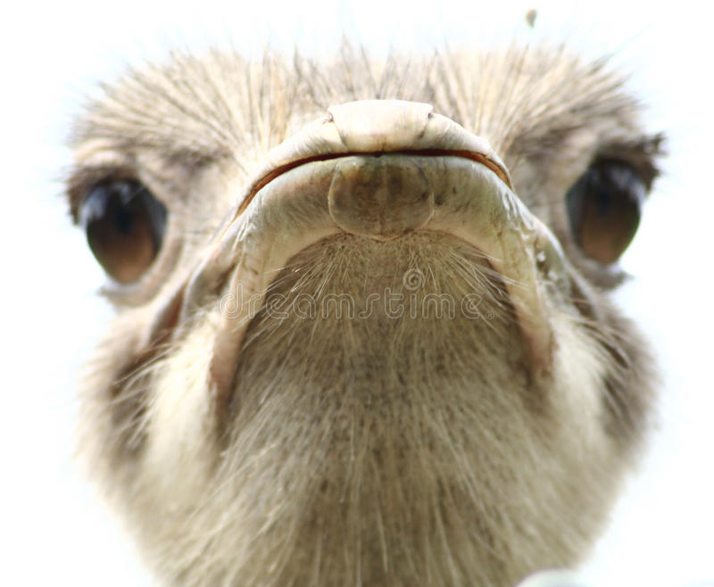Download Ostrich stock photo. Image of bird, stare, funny, long - 15637078
