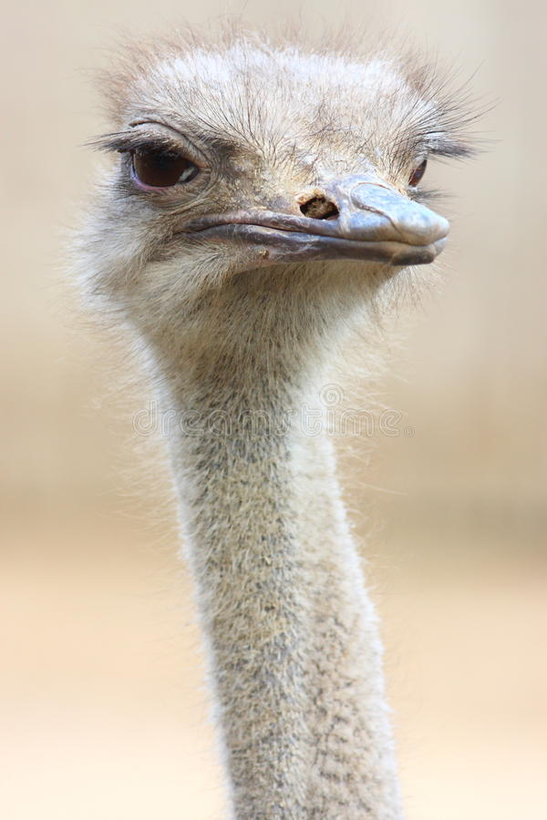ostrich arkivfoto