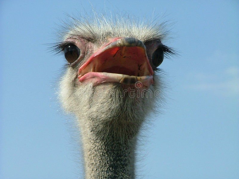 Ostrich 2 stock photos