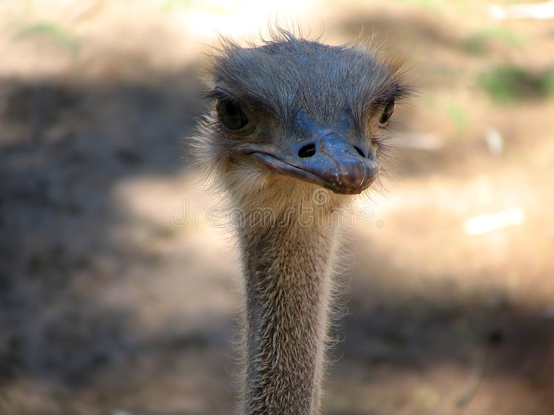 Download Ostrich stock photo. Image of flightless, bald, ostrich - 20960
