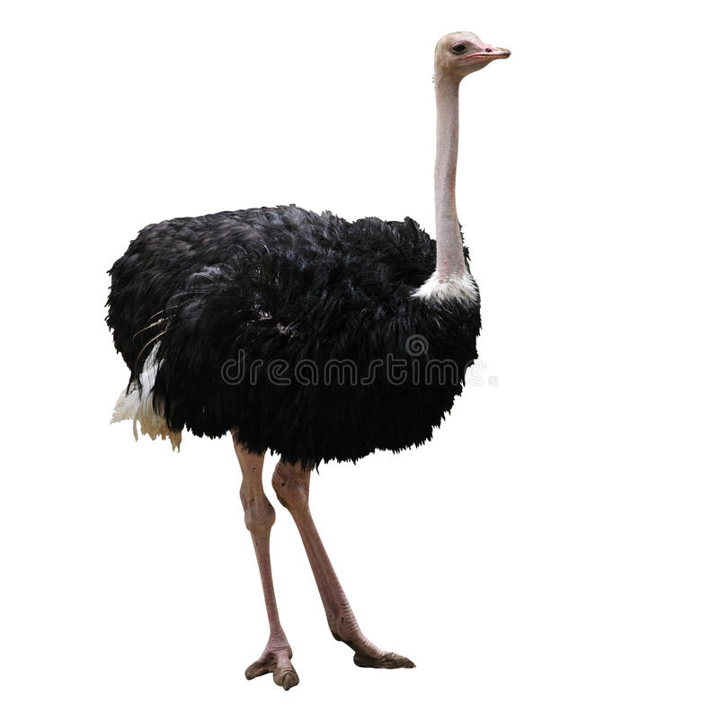 Ostrich. Isolated on white background