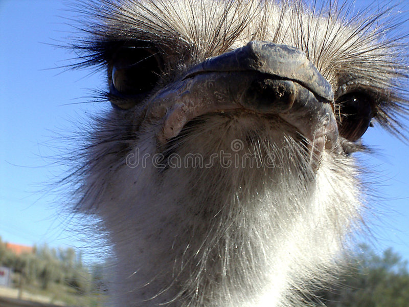 Download Ostrich stock photo. Image of ostrich, south, africa, closeup - 223120