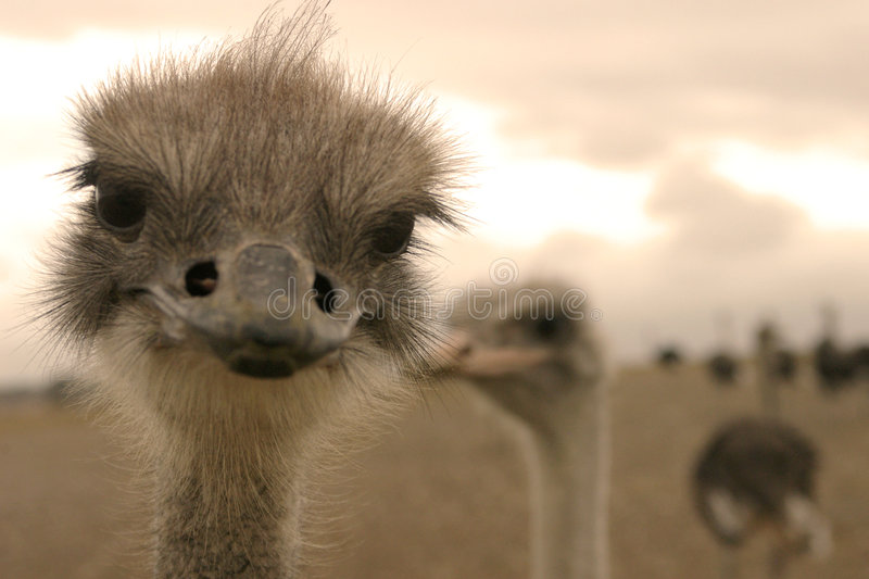 Ostrich. A close-up portrait of an ostrich was taken somewhere outside White Sands in Western Cape, South Africa stock images