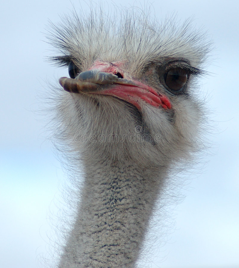 Free Ostrich Royalty Free Stock Image - 57436