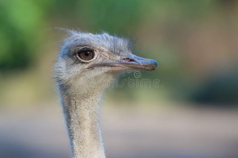 Download Ostrich stock image. Image of bird, flightless, head, gaze - 7392343
