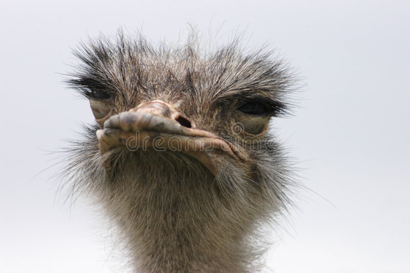 Download Ostrich 8 stock photo. Image of ostrich, sahara, shot - 1956054