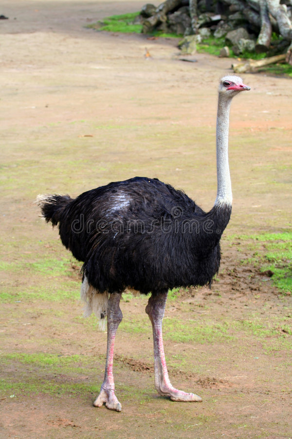 Free Ostrich Royalty Free Stock Photo - 866415