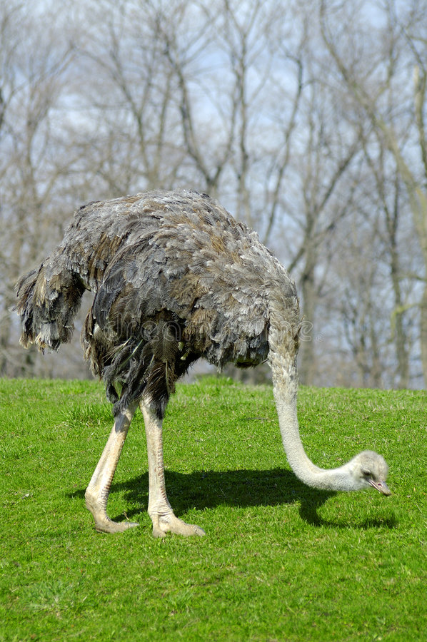 Free Ostrich Stock Photo - 95850