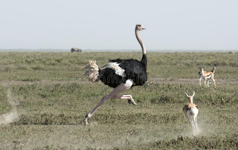 Download Ostrich stock photo. Image of serengeti, ostrich, park - 52615464