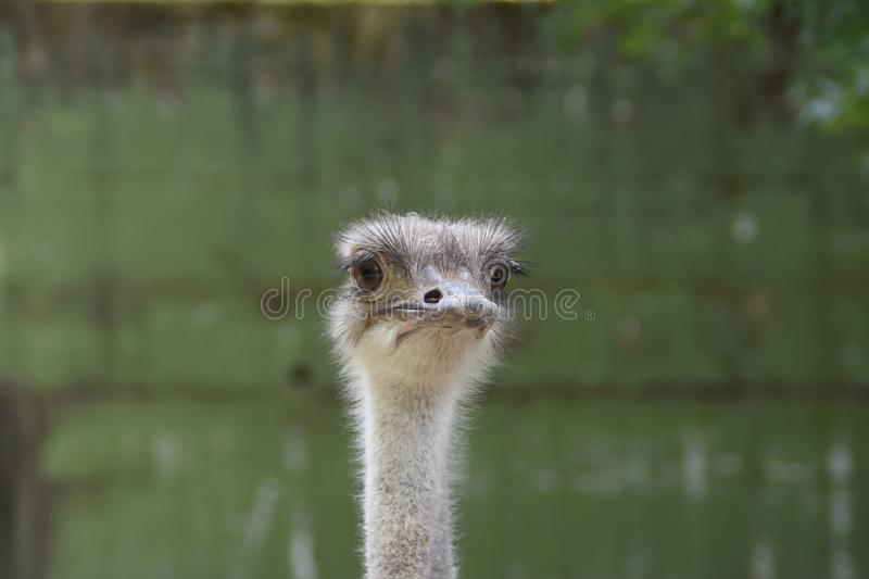 Ostrich animal zoo royalty free stock images