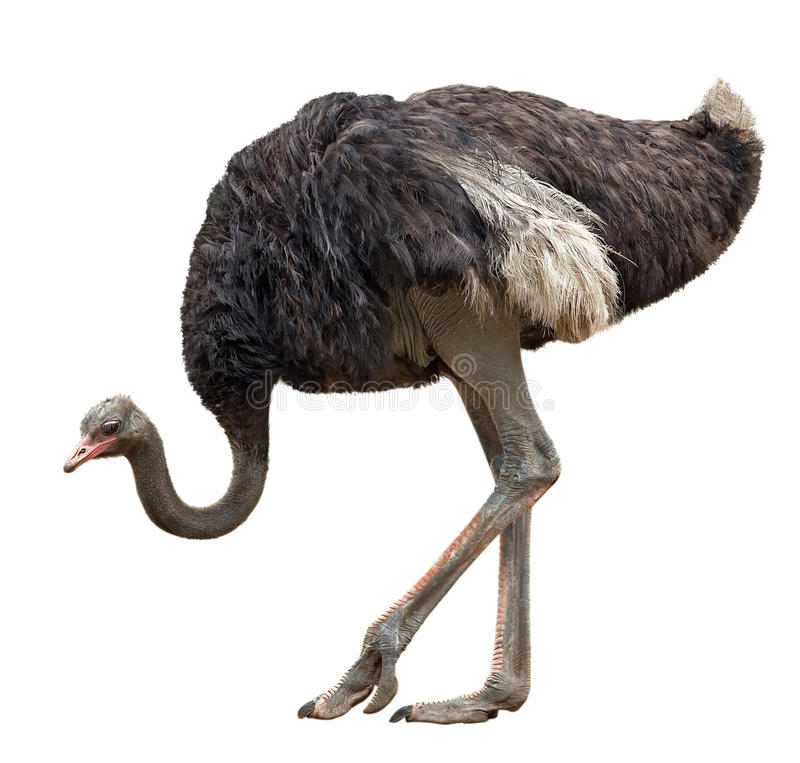 Ostrich. The big black ostrich is isolated on a white background stock image