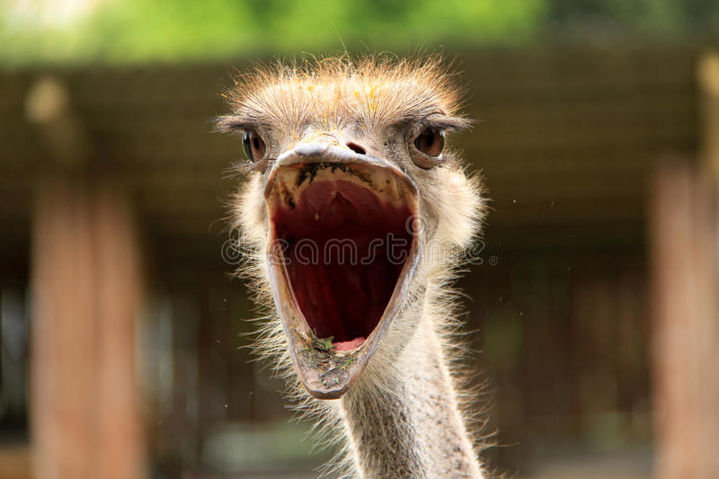 Ostrich. With big open mouth stock photos