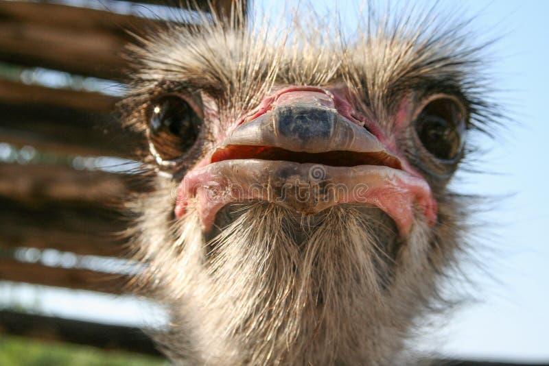 Ostrich bird head stock photo