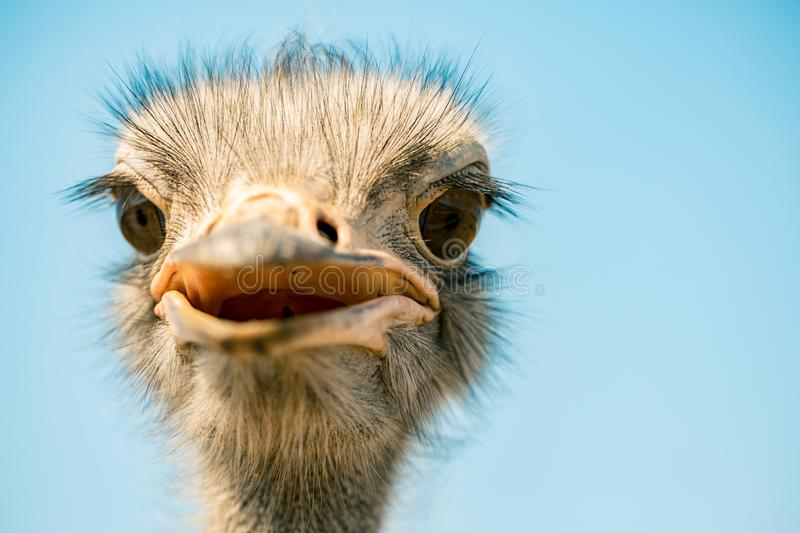 Ostrich bird head and neck front portrait in the park royalty free stock images
