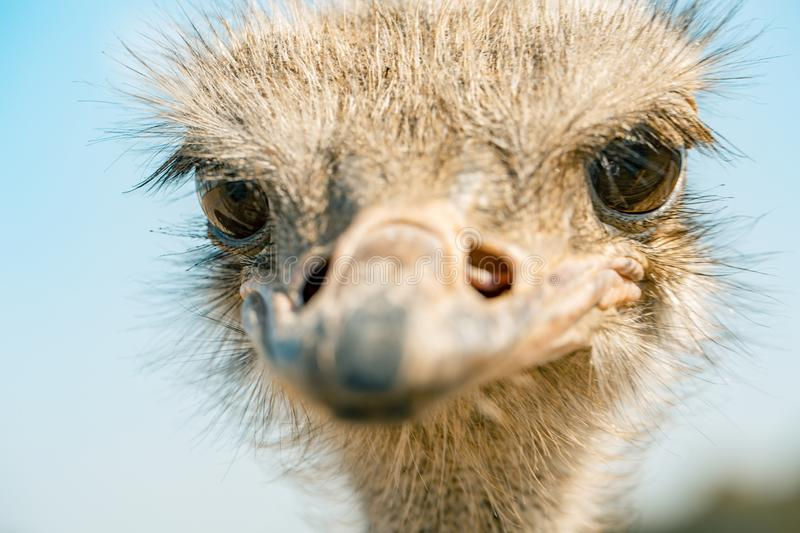 Ostrich bird head and neck front portrait in the park stock photo