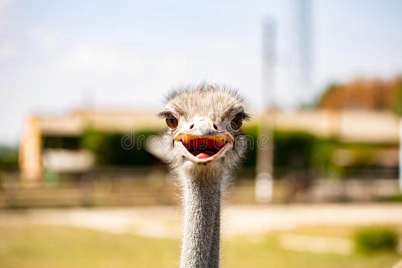 Ostrich bird head and neck front portrait in the park royalty free stock photography